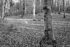 Pug in a sea of leaves (wketsch) Tags: at autumn backlight nikon graz sunset nature forest pug leaves landscape rural dusk monochrome bw