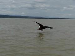Fishing fish eagle ( 14) (Linda DV) Tags: lindadevolder africa 2018 lumix travel geotagged nature kenya fauna baringo lake