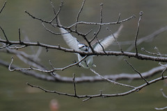 DSCF6582 (jojotaikoyaro) Tags: bird animal nature wildlife suginami tokyo japan fujifilm xh1 xf100400mm