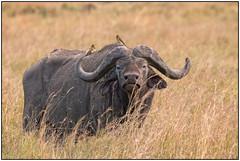 180914-1346 AFRICAN BUFFALO & OXPECKERS (28HR) Tags: travel africa kenya safari masai maasai mara wildlife mammal african buffalo