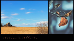autumn in alberta (rockinmonique) Tags: alberta landscape diptych macro autumn fall yellow blue clouds feild texture bokeh sky 52in52 201852weekthemechallenge moniquewphotography canon canont6s tamron tamron45mm copyright2018moniquewphotography