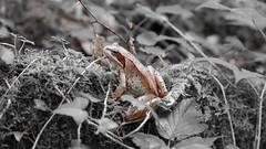 Grasfrosch (Aah-Yeah) Tags: grasfrosch frosch frog froschlurch rana temporaria achental chiemgau bayern