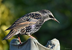 Starling in the Sunshine (Eleanor (No multiple invites please)) Tags: bird starling garden stanmore uk nikond7200 december2018