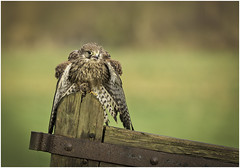 Young male Kestrel with mouse (Charles Connor) Tags: kestrel kestrelwithmouse birds birdswithprey hawks raptors featherdetail feathers plumage bokeh backgroundblur largeaperture nature naturephotography canondslr