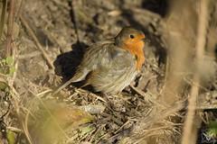Erithacus rubecula, Pettirosso, Rouge-gorge familier, Robin (Xrupex) Tags: erithacusrubecula pettirosso rougegorgefamilier robin animals birds ornithology birdwatching outdoors