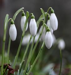 Snowdrops (Bohpix) Tags: snowdrops stmaryschurch crickladewiltshire uk canoneos5dmkiii ef100mmf28l bohpix paddybohan canondpp4