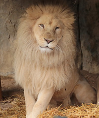 african white lion Ouwehands 094A0325 (j.a.kok) Tags: whitelion witteleeuw leeuw lion africa afrika afrikaanseleeuw africanlion afrikaansewitteleeuw africanwhitelion animal mammal zoogdier dier predator ouwehands ouwehandsdierenpark ouwehand credo pantheraleoleo timbavati
