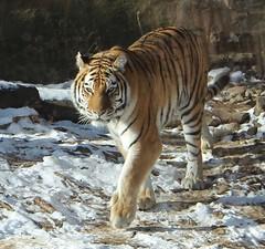 Koosaka/Amur Tiger (auntiepauline) Tags: tiger amurtiger philadelphiazoo koosaka