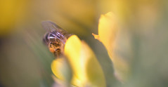 another honey bee in a gorse flower (conall..) Tags: nikon afs nikkor f18g lens 50mm prime primelens nikonafsnikkorf18g closeup raynox dcr250 macro county down tullynacree nw551041 annacloy field northernireland bee honeybee apis mellifera apismellifera pollination flower pollen load pollenload colour desenfoque outoffocus narrow dof selective focus ulex europaeus gorse bush shrub scrub