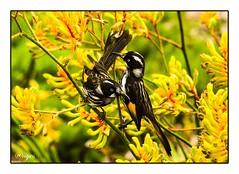 New Holland Honey Eaters (ag&ph2010) Tags: royalbotanicgardenscranbourne melbourne victoria australia birds newhollandhoneyeaters flora fauna birdlife wildlife kangaroopaws flowers australianflowers