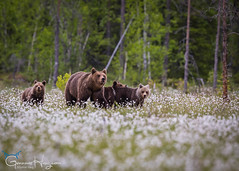 We are family (GunnarImages (Gunnar Haug)) Tags: cub landscape cute mammal nordic brown bearcub brownbear wildlife love forest finland green smile tree swamp cottongrass