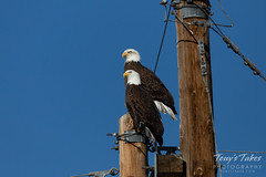 Regal Bald Eagle pair hanging out
