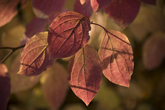 Feuilles d'automne * (Titole) Tags: leaves shadows red titole nicolefaton