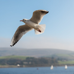Hover (Robin Mulligan) Tags: nikon nikonpassion nikond810 bird seagul flight flying feather tamron