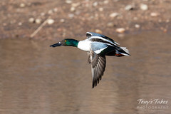 February 2, 2019 - A northern shoveler in flight along the South Platte River. (Tony's Takes)