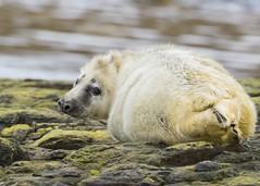 Newly born Grey Seal pup (alexpermain) Tags: springwatch bbcearth natgeowild natgeo animalplanet animal cute mammal uk northumberland farneislands wildlife nature greyseal seal