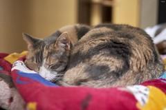 A9__DSC3146_C1 (Bazoka+Cynthia) Tags: pupu cat 小婆 新北市 樹林區 貓