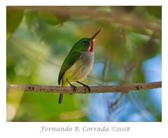 Puerto Rican Tody (5710) (fbc57) Tags: puertoricantody avesdepuertorico tody birds todidae todusmexicanus caminodelaceiba morovis puertorico nikond850 nikon500f56epfedvr