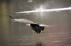 A near miss - try for another one - bald eagle (foto tuerco) Tags: bald eagle near miss strike raptor marsh oregon