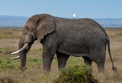 Two Points of View (Digital Rebels) Tags: wwwphototourtrekkerscom elephant egret amboselinationalpark kenya africa safari travel old age bird mammal tusk trunk view grassland