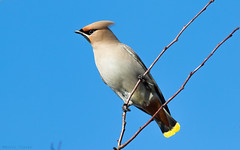 Waxwing (kevinclarke1969) Tags: