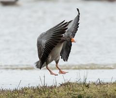 Rainham 18.12.18  Greylag landing - T