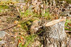 Tree Stumps (Jonatan Svensson Glad (Josve05a)) Tags: natural outdoors fall plant park outdoor tree forest grass wood scenic autumn forrest trees sweden woods nature september treestump nonurbanscene tyresö stockholmslän sverige se