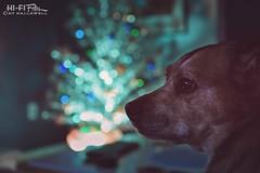Still Celebrating (Hi-Fi Fotos) Tags: rocco rocky rock rocket pup dog pet bff pooch cutie oldman christmas season silver aluminum tree bokeh holiday decor nikkor 40mm micro macro 28 nikon d7200 dx hififotos hallewell