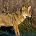 New Year's Morning Coyote