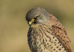 kestrel portrait (alderson.yvonne) Tags: bird kestrel male portrail post teesside cleveland nikon d7200