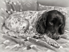 Recovering and back home! (Missy Jussy) Tags: razz razzledazzle roxbergrazzle puppy malespringerspaniel mansbestfriend englishspringer dog poorly iphone mono monochrome blackwhite bw blackandwhite portrait animal animalportrait pet petportrait recoveringandbackhome littledoglaughedstories