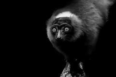 Lèmur (Kaobanga) Tags: madagascar lèmur lémur lemur bw bn blackandwhite blancoynegro monocrom monocromo monochrome kaobanga rvl