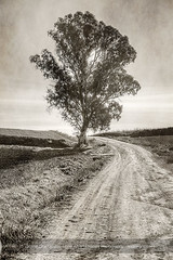 Old and wise (ILO DESIGNS) Tags: tree road path way nature landscape blackandwhite blancoynegro retro old backlighting paisaje camino senda sendero europe spain españa sevilla field countryside texturing d3300 18105 grey árbol eucalipto eucalyptus rural pictorial pictórica pictorialist fineart fotografíadeautor 2018 december diciembre
