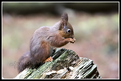 IMG_0023 Red Squirrel (Scotchjohnnie) Tags: redsquirrel sciurusvulgaris squirrel squirrelphotography rodent mammal wildanimal wildlife wildlifephotography wildandfree nature naturephotography canon canoneos canon7dmkii canonef70200mmf28lisiiusm scotchjohnnie