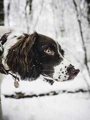 Sasha hunting in the snow (Ian C. Robinson) Tags: ess englishspringerspaniel gundog pet dog puppy spaniel springer fieldsports snow winter sportdog birddog petphotography dogphotography gundogphotography retriever
