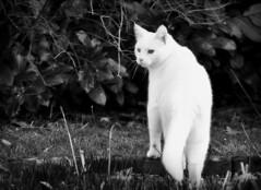 Sam in his territory... (SpitMcGee) Tags: sam kater cat eisbär pet hmbt blackwhite schwarzweiss inmeinemgarten inmygarden spitmcgee