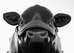Portrait of a giant cow statue in black and white (mediatripjason) Tags: black statue cow isolated animal cattle bull meat night white architecture old nature tradition standing looking street stock us nobody funny art usa agriculture urban landmark one domestic culture states beef portrait concept sculpture rural close head farm market livestock bovine dairy