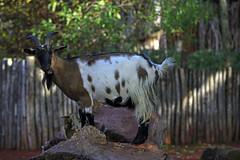 Zwergzeige (Michael Döring - thx for 20.000.000 views) Tags: gelsenkirchen bismarck zoomerlebniswelt zoo zwergzeige afs70200mm28g d800 michaeldöring