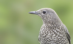 Blue rock thrush. Monticola solitarius (okiox) Tags: monticolasolitarius blue rock thrush okinawa bird animal portrait common resident fauna beak beautiful asia japan wildlife nature nikon
