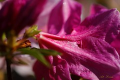 _01A3831 (Dream Delivered (Dreamer.Thanks for +6.750.000 v) Tags: ntu flower azalea macro droplet coth coth5