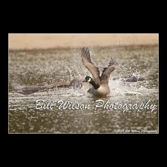 canada goose (wildlifephotonj) Tags: canadagoose goose geese wildlifephotographynj naturephotographynj wildlifephotography wildlife nature naturephotography wildlifephotos naturephotos natureprints birds bird birdphotography
