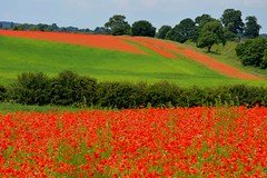 Blackstone Farm Poppy Field (Seventh Heaven Photography **) Tags: blackstone farm poppy field poppies bewdley kidderminster red flowers blooms flora carpet papaver papaveroideae nikon d3200 grass sky landscape july 2014