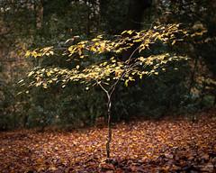 Starting out (Mr Aylesbury) Tags: 2018 countryside buckinghamshire england tree uk forest bucks panasonic woodland autumn trees lumix karlvaughan dmcgx8