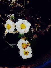 (rosaangelica14) Tags: flower