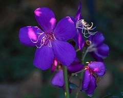 Melastomataceae (shinichiro*) Tags: 20181102sdim6787 2018 crazyshin sigmasdquattroh sdqh sigma1770mmf284dcmacrohsm november autumn yokohama 横浜イングリッシュガーデン flower macro melastomataceae ノボタン 44103555750 4983492 201904gettyuploadesp