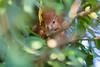 Hoernchen-2018-4373.jpg (Joachim Dobler) Tags: eichhörnchen eichhoernchen squirrel écureuil ardilla scoiattolo esquilo nature natur nagetier maple esquito wildlife animal cute naturephotography squirrellove wildlifephotography bestsquirrel nutsaboutsquirrels cuteanimals