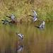 I'll fly away.... (Snixy_85) Tags: ducks redheadducks aythyaamericana