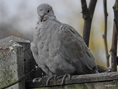 Grey bird on a Gray day. Collared Dove. (In Explore) (pete Thanks for 5 Million Views) Tags: wivenhoe port hythelagoon river colne bird wicked weasel hwcp grey gray day collared dove in explore