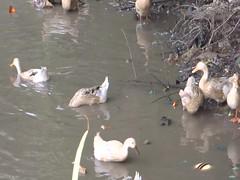 Ducks in the Mekong Delta