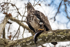 7K8A3182 (rpealit) Tags: scenery wildlife nature conowingo dam susquehanna river maryland immature bald eagle eating fish bird